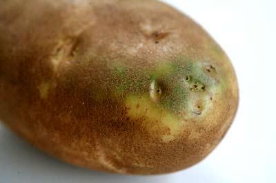 Почему нельзя есть зеленую картошку